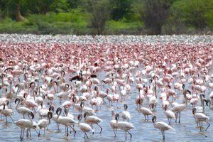 Lake Bogoria pink white Flamingoes