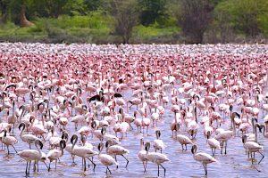 Pink White flamingoes Lake Bogoria